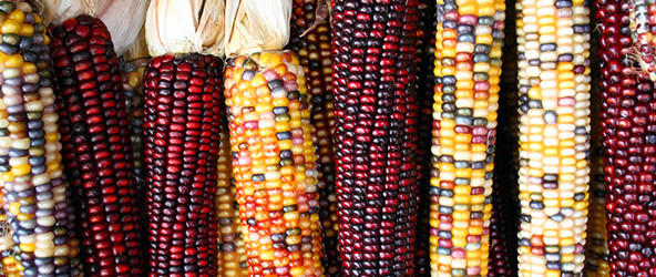 The harvest of the jewel: Glass gem corn