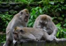 Peculiarities of the monkey business in Ubud Bali
