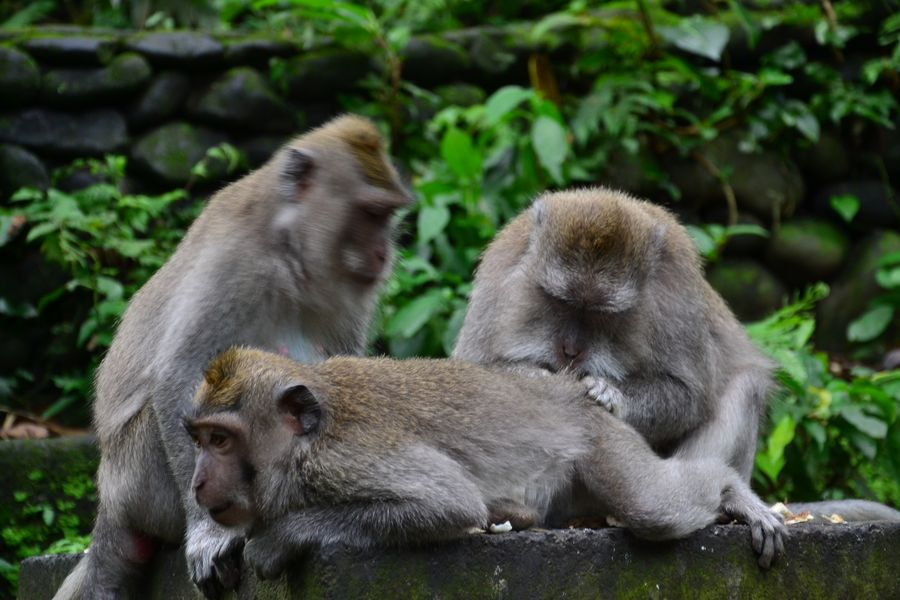 Monkey forest Bali Indonesia