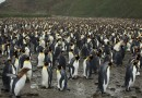South Georgia Island and the King Penguins
