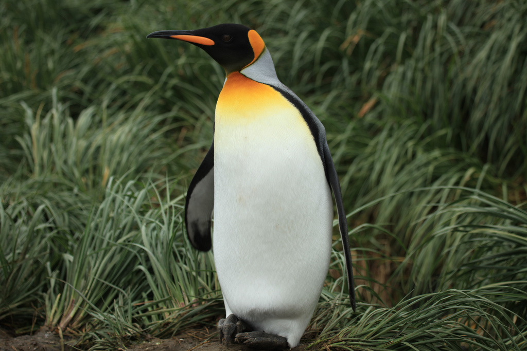 King Penguins in the wild
