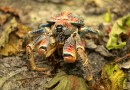 The migrating crabs at Christmas Island