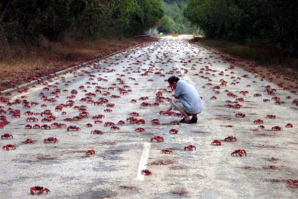 Christmas island migrating red crabs